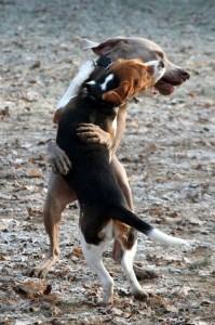 chiens qui jouent