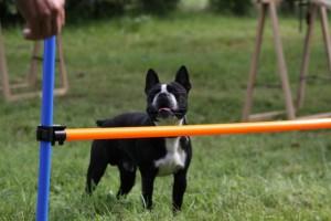 Le chien ne saute pas la barre d'agilitly