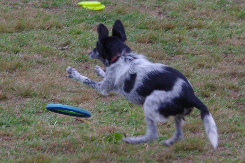 Pampa et son frisbee mou