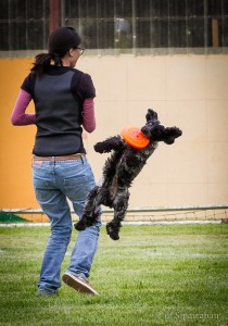 cocker jouant au frisbee dog