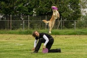Croisé labrador exécutant un backvault