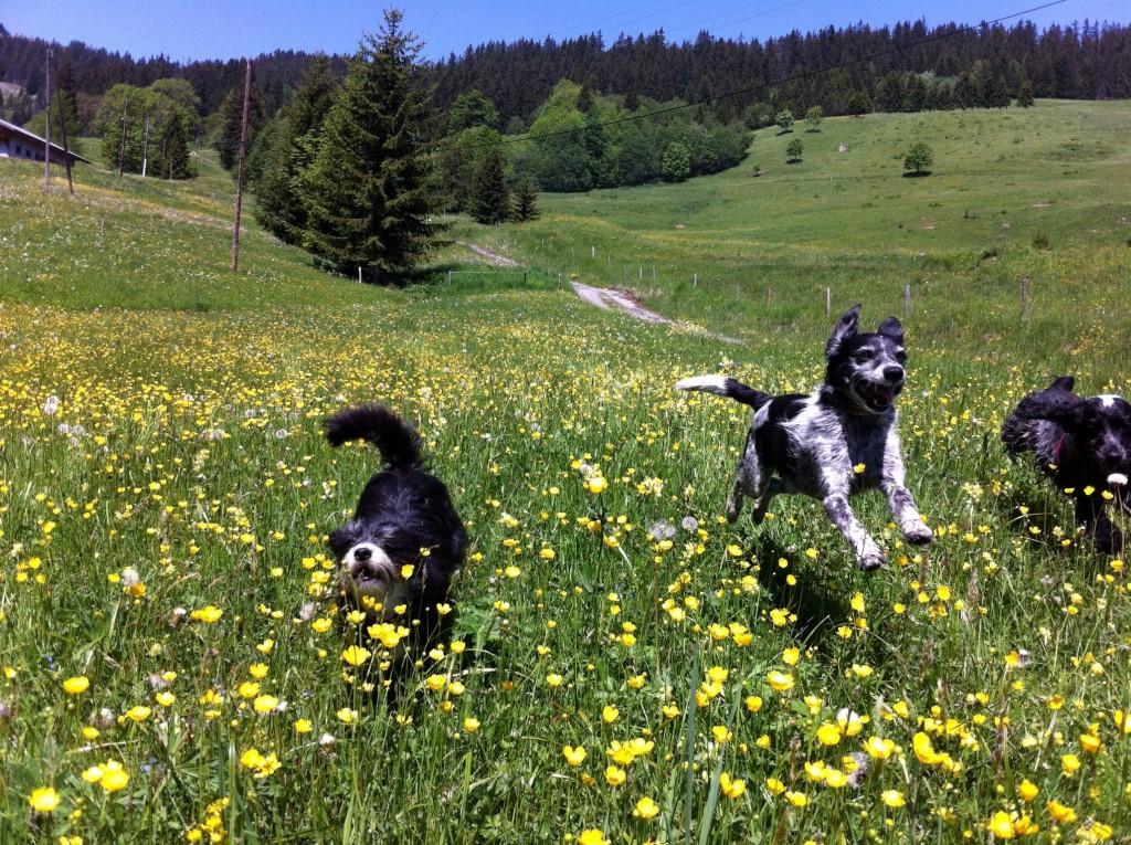 Les chiens arrivent au galop