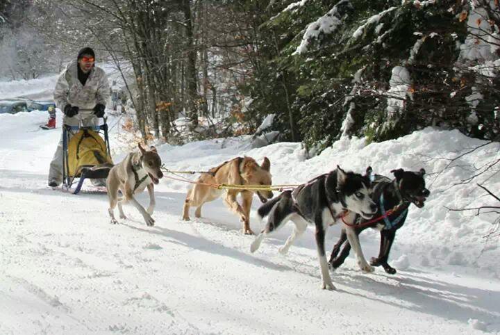 Fabien en traîneau avec ses chiens (et quelques chiens d'emprunt)