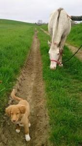 Miette, 4 mois, se familiarise aux chevaux avec Flamme
